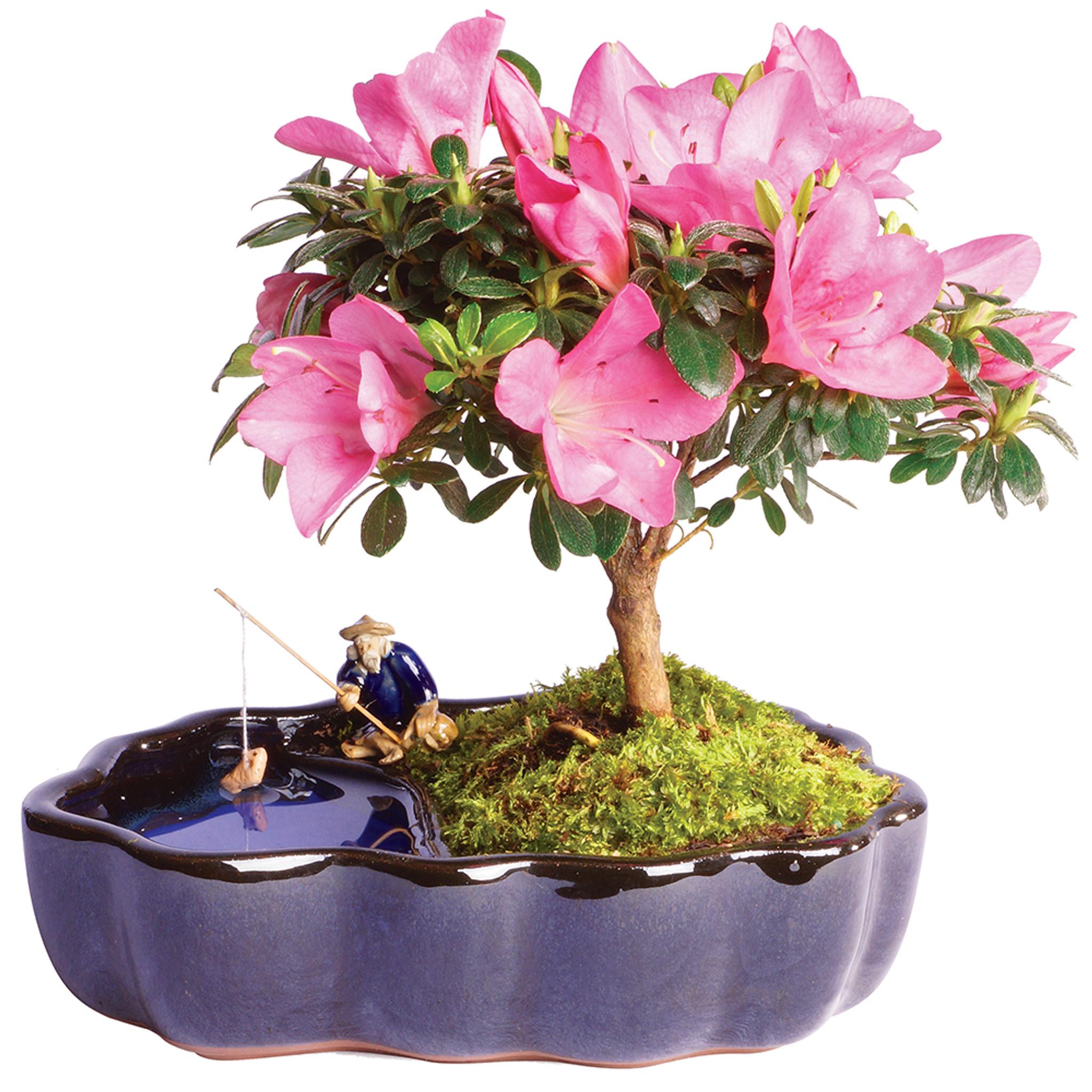 Azalea Rhododendron Indicum Outdoor Bonsai Zen Reflections Brussel S Bonsai