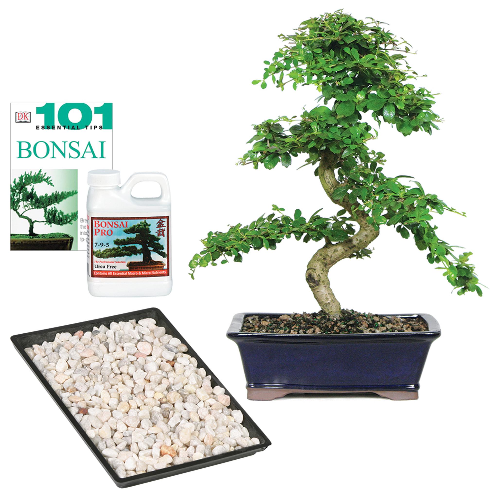Fukien Tea Carmona Microphylla Indoor Bonsai Complete Gift Brussel S Bonsai