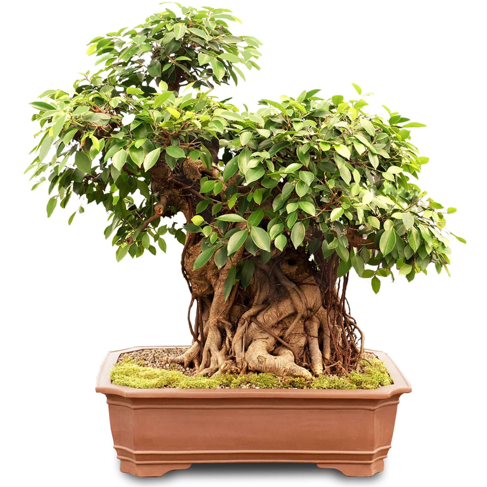 Mature Ficus Retusa Bonsai Tree Specimens Taiwan Ficus Brussel S Bonsai