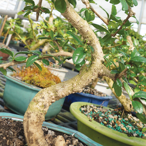 Medium Size Fukien Tea Bonsai Tree Trunk View