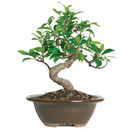 Small Size Golden Gate Ficus Bonsai Tree