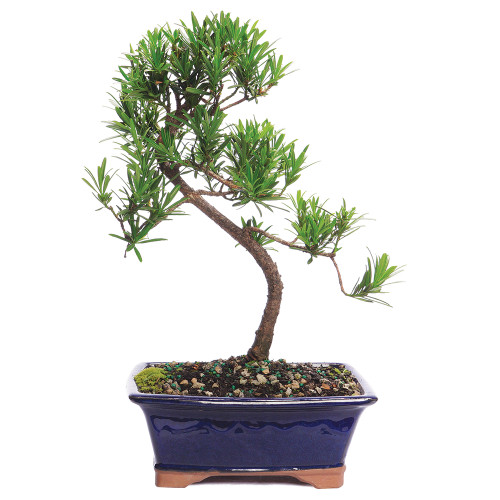 Dwarf Podocarpus - CT7004PM