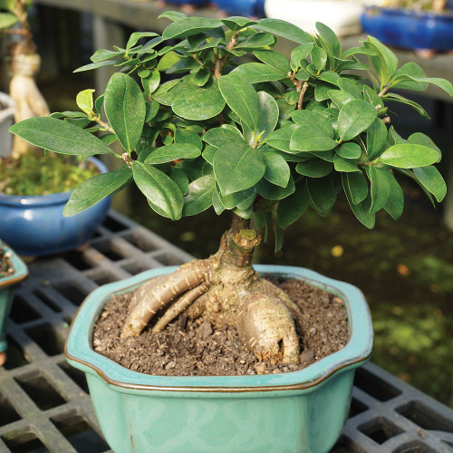 Small Size Ginseng Grafted Ficus Bonsai Tree Alternate View