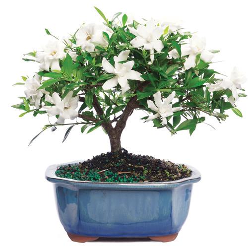 Gardenia - DT0107G