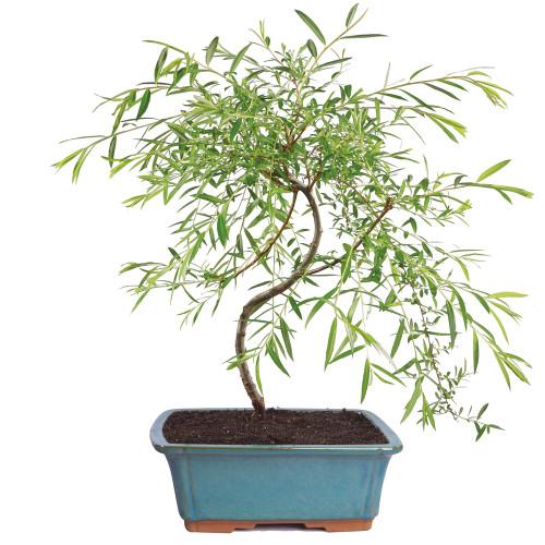 Medium Sized Japanese Weeping Willow Bonsai Tree