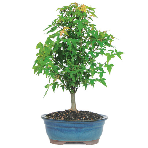Small Size Trident Maple Bonsai Tree