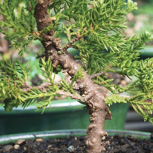 Small Green Mound Juniper Bonsai Tree Trunk Image