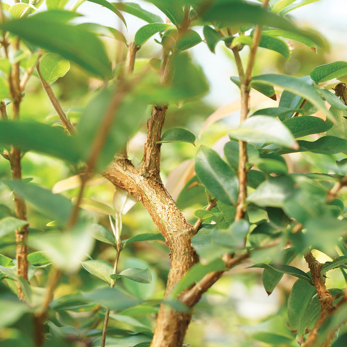 Small Size Jaboticaba Bonsai Tree Foliage View