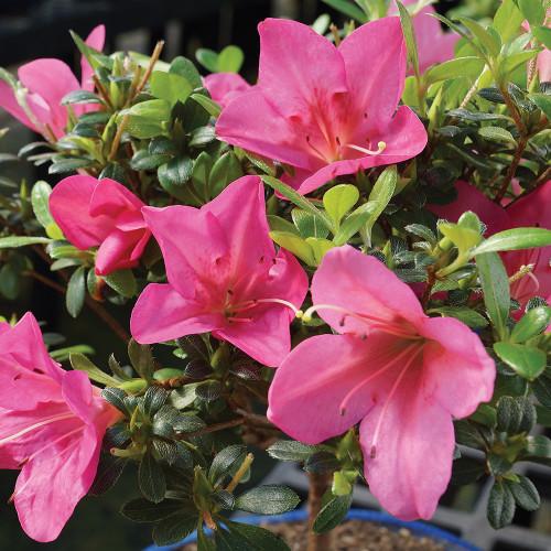 Small Size Satsuki Azalea Bonsai Tree Alternate Bloom Image