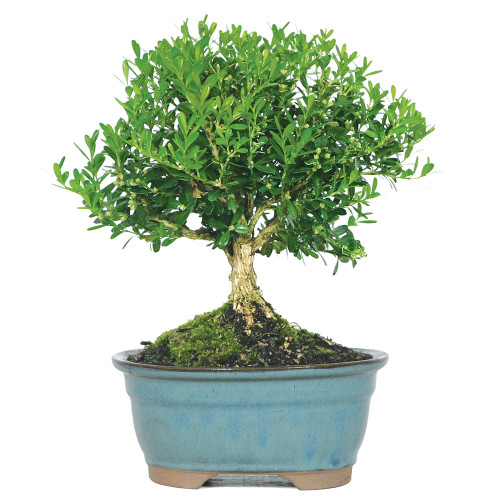 Small Size Harland Boxwood Bonsai Tree