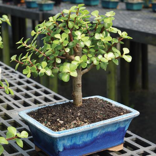 Medium Size Dwarf Jade Bonsai Tree Alternate View