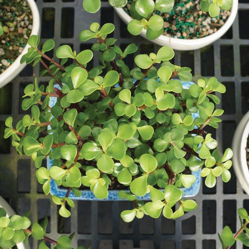 Medium Size Dwarf Jade Bonsai Tree Foliage View