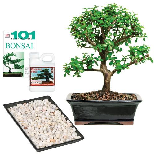 Large Size Dwarf Jade Complete Gift Bonsai Tree