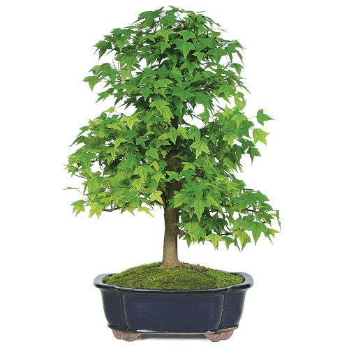 X Size Trident Maple Bonsai Tree
