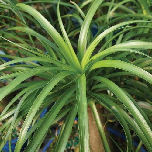 Medium Ponytail Palm Bonsai Tree Foliage View