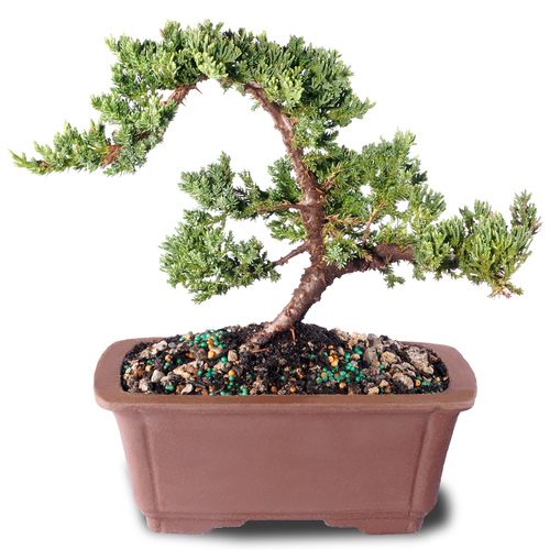Green Mound Juniper - DT7079GMJ