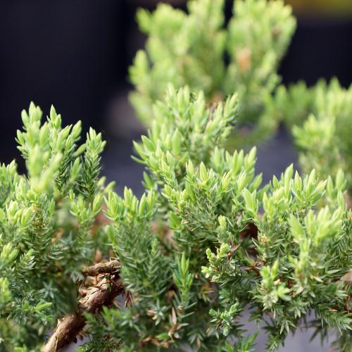 Green Mound Juniper - DT7079GMJ