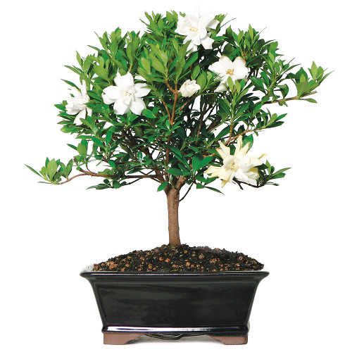 Medium Size Gardenia Bonsai Tree