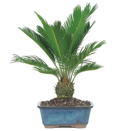 Medium Size Sago Palm Bonsai Tree
