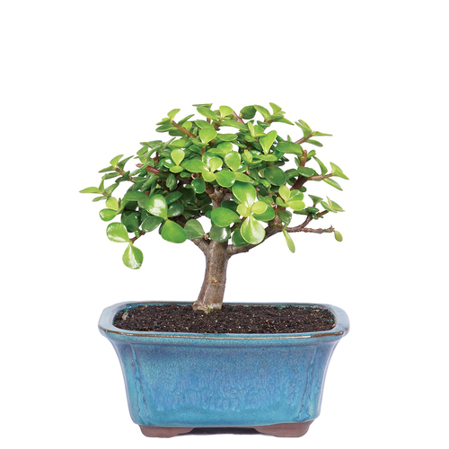 Small Size Dwarf Jade Bonsai Tree