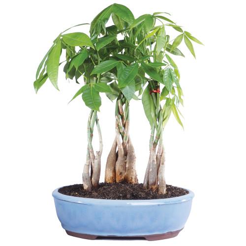 Money Tree Grove - DT2312MTG3