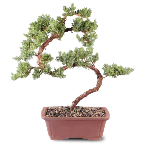 Green Mound Juniper - DT4002GMJ