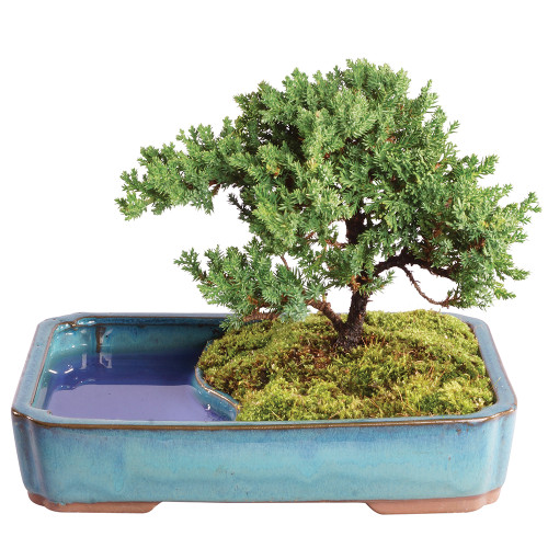 Green Mound Juniper in Water Pot - DT0118GMJWP