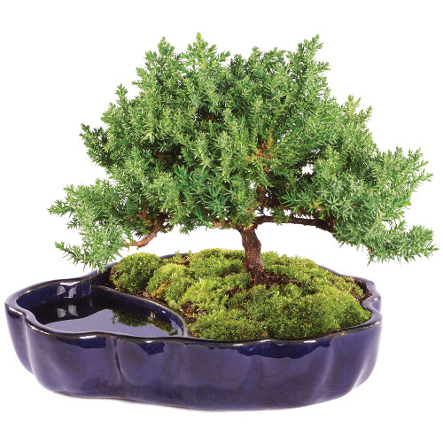 Green Mound Juniper in Zen Reflections Pot - DT2101GMJZ