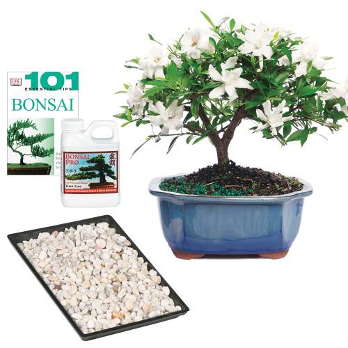 Gardenia Jasminoidy Radicans Outdoor Bonsai