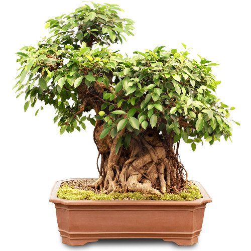 Grafted Ficus - ST2518FR-B