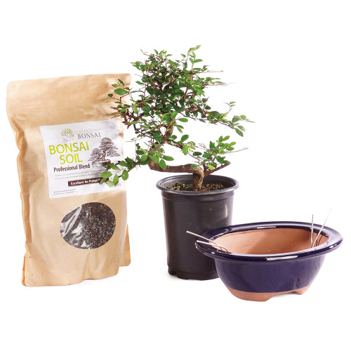 Chinese Elm - Pot It Yourself - CTCE4PIY