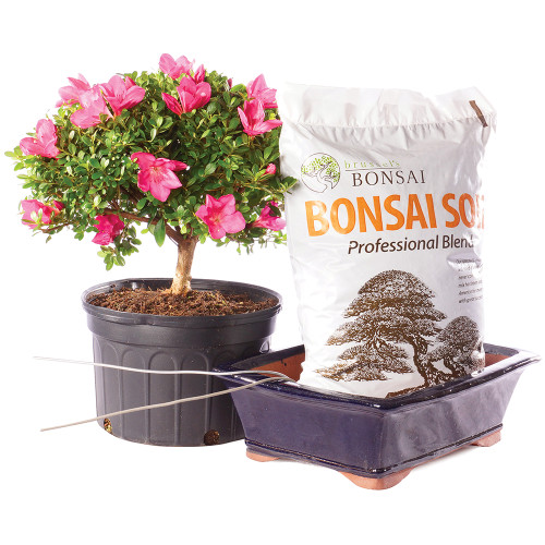 Azalea - Pot It Yourself - DTAZ3GPIY