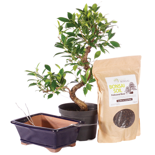 Golden Gate Ficus -CTGGF6PIY