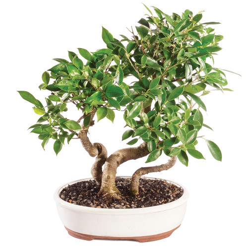 Golden Gate Ficus Grove - CT0219FG