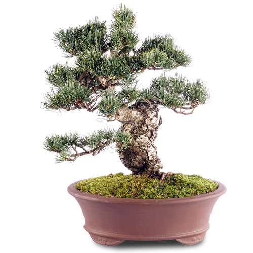 Japanese Five Needle Pine - ST2218FNP-E