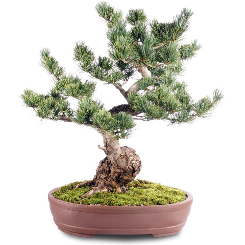 Japanese Five Needle Pine - ST2318FNP-C