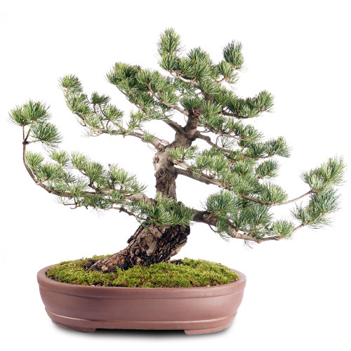 Japanese Five Needle Pine - ST2318FNP-H