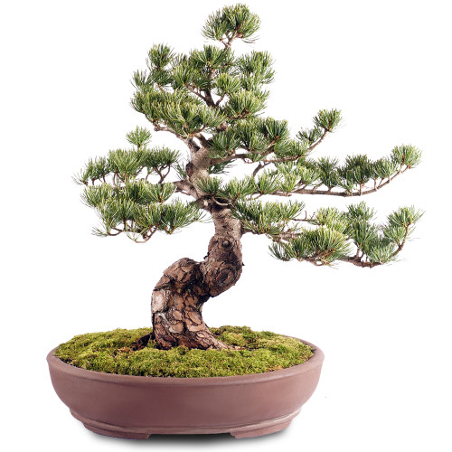 Japanese Five Needle Pine - ST2318FNP-K