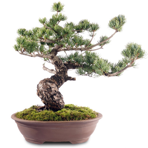 Japanese Five Needle Pine - ST2318FNP-L