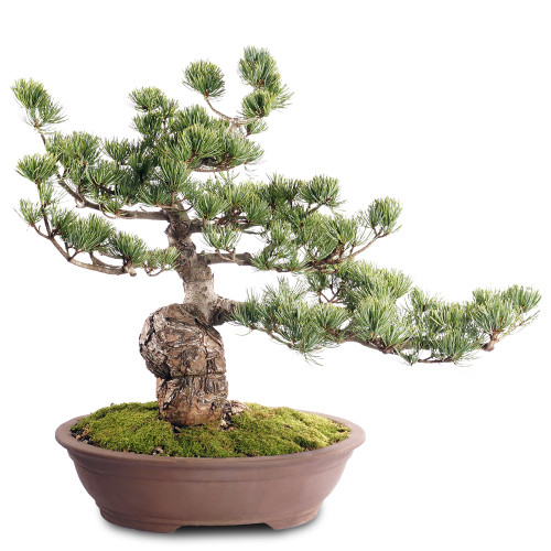 Japanese Five Needle Pine - ST2318FNP-M