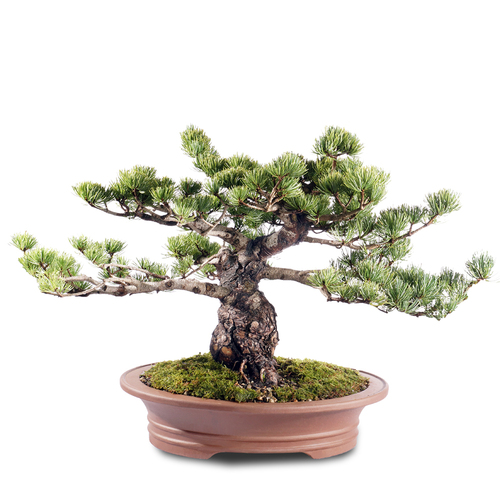 Japanese Five Needle Pine - ST2318FNP-O