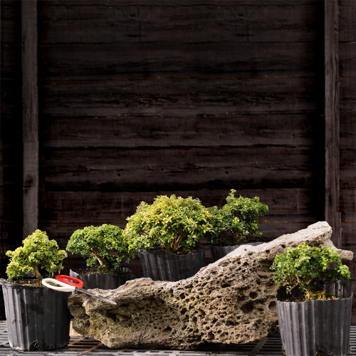 5 Tree Boxwood on Lace Rock