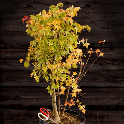 Trident Maple Clump