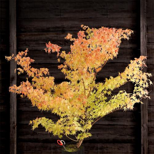 Japanese Maple 'Arakawa'