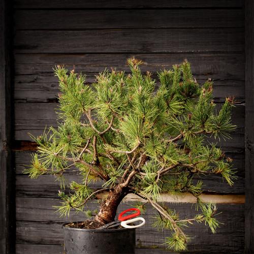 Spaan's Dwarf Pine