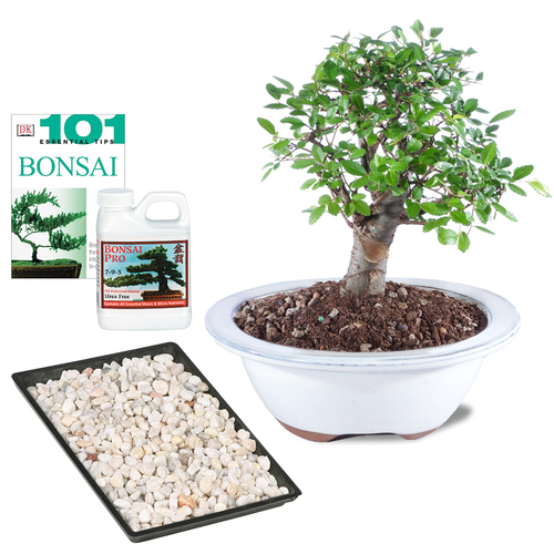 Chinese Elm Complete Gift  - CT9005CECG