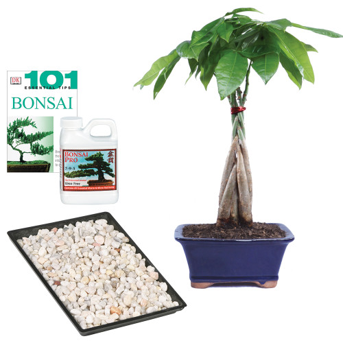 Braided Money Tree Complete Gift - DT1024MTCG
