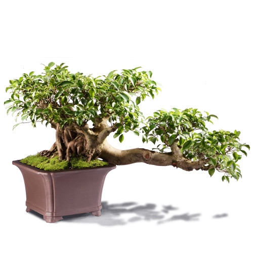 Grafted Ficus ST4215FR-P