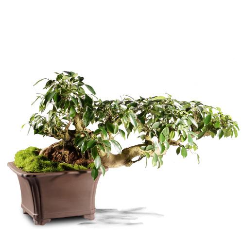 Grafted Ficus ST4215FR-V