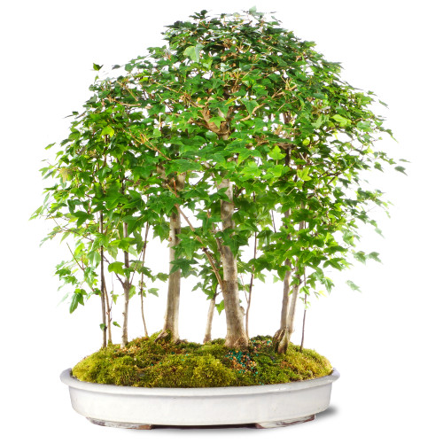 Trident Maple Grove - ST0920TMG-I